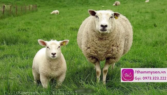 Nhau thai cừu tốt cho sức khỏe và làm đẹp